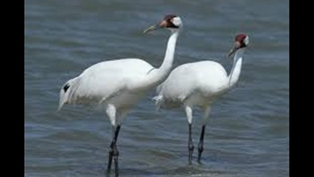 Authorities Still Investigating Whooping Crane Deaths