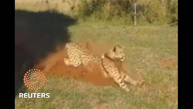 Researchers use solar-powered collar to track cheetahs' hunting methods