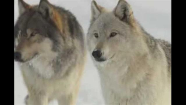 U.S. gray wolves headed for disaster in 2013?