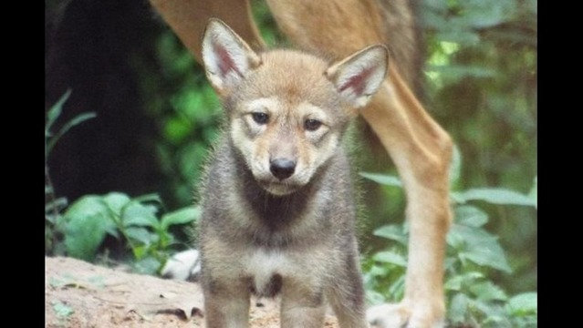Rare Red Wolf Born at Land Between the Lakes