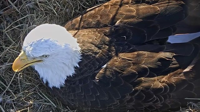 Naming Contest Underway for Eaglets from Live Stream