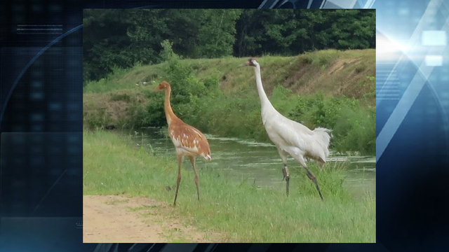 Reward Offered for Information on Shot Whooping Crane
