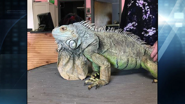 Pet Iguana Takes a Bite Out of Crime