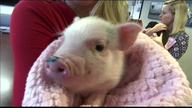 Pot Belly Pigs Allowed in Evansville