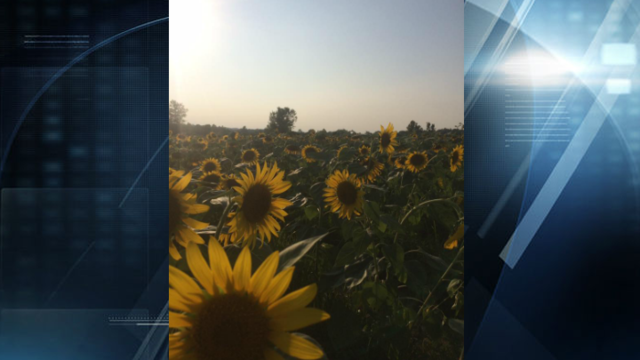 IN DNR: Keeping Sunflower Fields in Good Condition